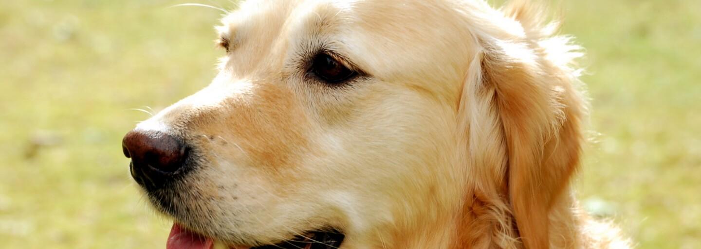 Zlatý retrívr objevil heroin za 85 000 dolarů. Rodinný pes způsobil majitelům pořádné problémy