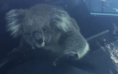 Zmätená koala na diaľnici spôsobila hromadnú nehodu. Za volantom sa jej páčilo, keď ju viezli do bezpečia