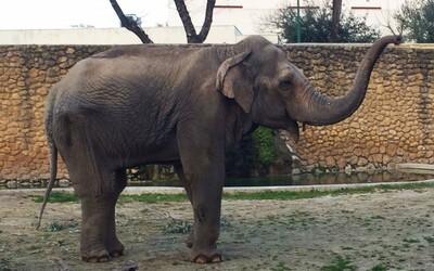 Zomrel najsmutnejší slon na svete, ktorý strávil 43 rokov osamote a izolácii v zoologickej záhrade