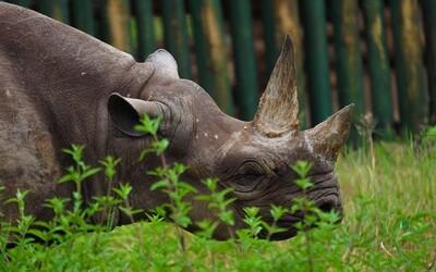 Zomrel pravdepodobne najstarší nosorožec na svete