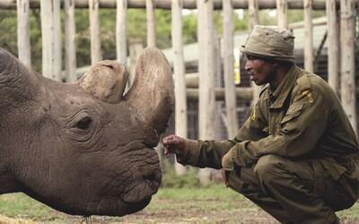 Zomrel samec bieleho nosorožca Sudán, bol poslednou nádejou na záchranu druhu