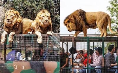 Zoo, kde lidé končí v klecích a zvířata volně pobíhají. Návštěvníci tam zažívají skutečnou přírodu