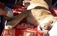 Zoo odstránila pazúre levíčaťu v umelom spánku, aby sa s ním mohli hrať návštevníci. Krvavý zákrok má zaručiť bezpečnosť