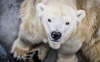 Zoo Praha utratila lední medvědici Boru, byla ochrnutá na pravou polovinu těla