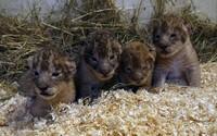 Zoo ve Švédsku zabila už 9 lvíčat, protože nezapadla do smečky. Prý má jít o standardní proceduru, pokud lvy nedokáží integrovat