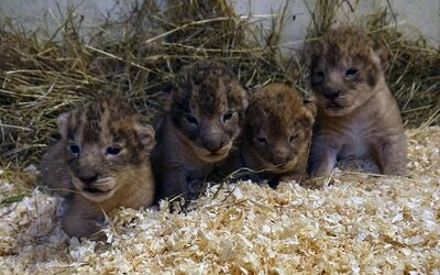 Zoo vo Švédsku zabila už 9 levíčat, pretože nezapadli do svorky. Vraj má ísť o štandardnú procedúru, ak levy nevedia integrovať