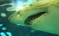 """Žralokům lidské maso nechutná. Jejich """"lidožravost"""" je pouhým mýtem"""