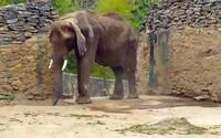 Zúbožená a vyhladovaná slonica vo venezuelskej zoologickej záhrade, ktorú nemajú ako kŕmiť. Krajina sa zmieta v ekonomickej kríze