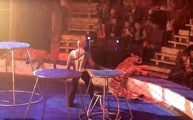 Zúbožená tigrica skolabovala v ruskom cirkuse priamo pred divákmi. Chovateľ ju náhlivo odtiahol preč za chvost