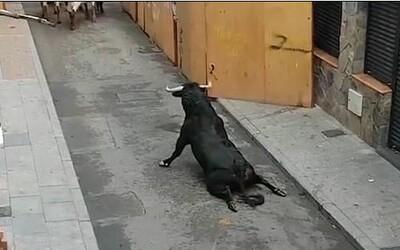 Zviera si po zoskoku zlomilo obe zadné nohy a muselo sa plaziť. Španielsky beh s býkmi si pripísal ďalšiu obeť