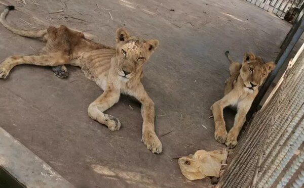 Zvířata v súdánské zoo trpí hladem. Některá ztratila dvě třetiny své váhy