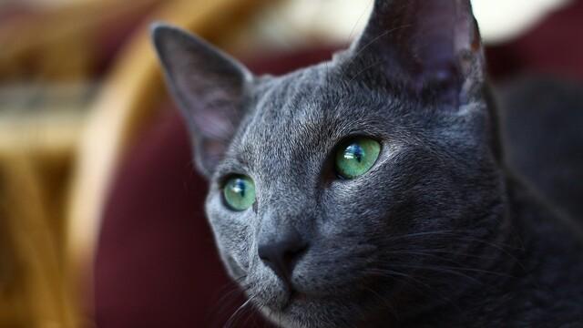 Ruská modrá kočka stojí majlant. Kočičí carevna se smaragdovýma očima má však co nabídnout