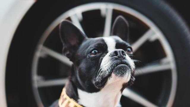 Cestování se psem je in. Jenže pro zvíře je cestování stres, upozorňují veterináři