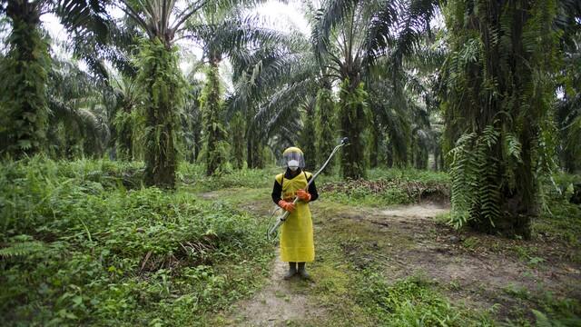 Produkcia palmového oleja rastie, dažďové pralesy hynú