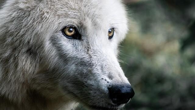 Jak se z vlka stal pes?