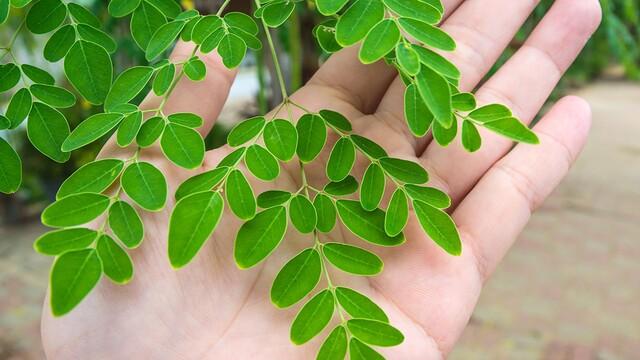 Moringa - zdravie a vitalita ukrytá v listoch zázračného stromu